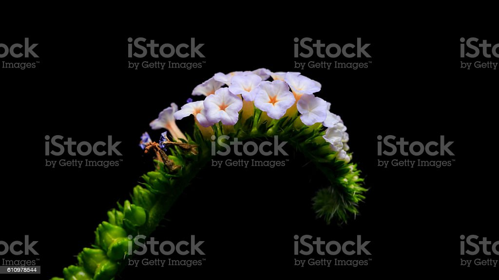 little purple flower Indian Heliotrope or Indian Turnsole flower stock photo