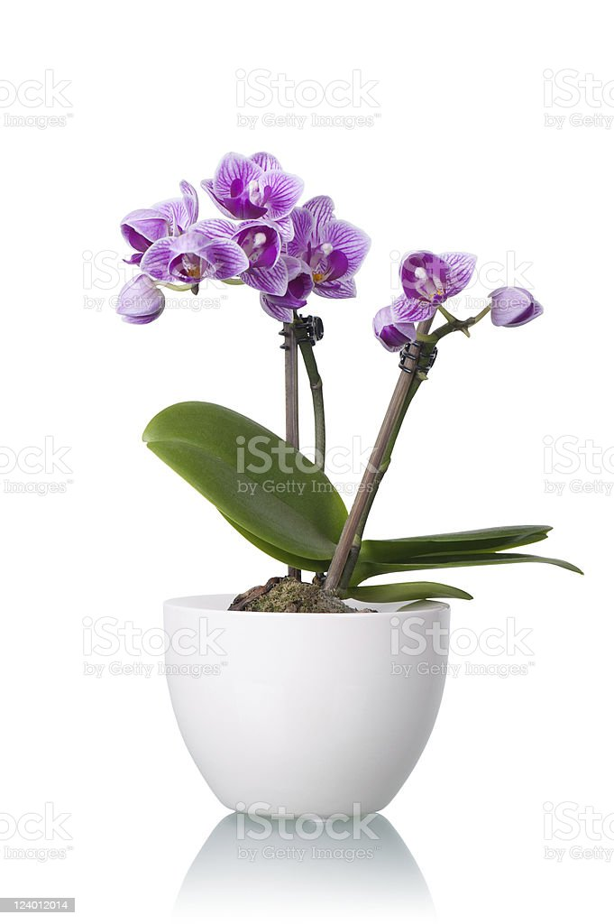 Little Purple Orchid in White Flower Bowl stock photo