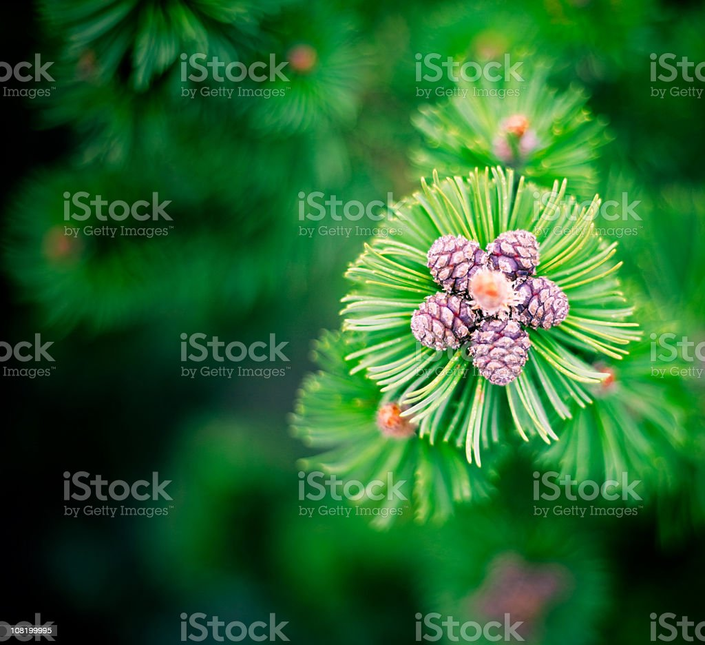 Little purple pine cones on evergreen treen royalty-free stock photo
