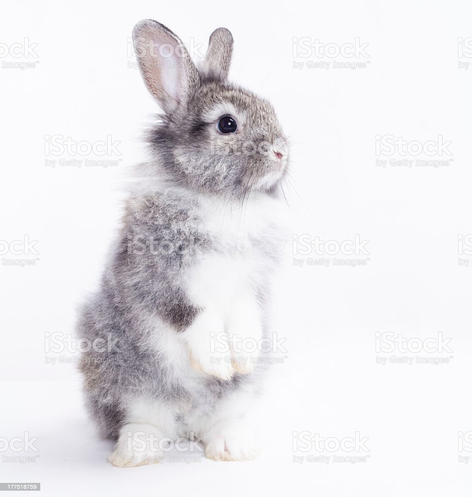 Little rabbit sitting on its back feet stock photo