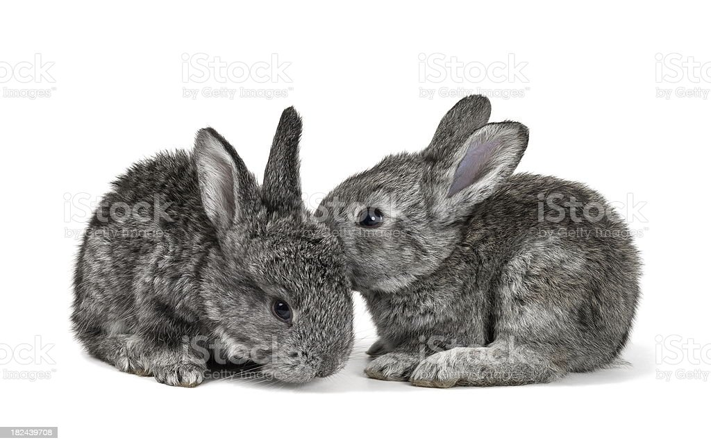Little Rabbits royalty-free stock photo