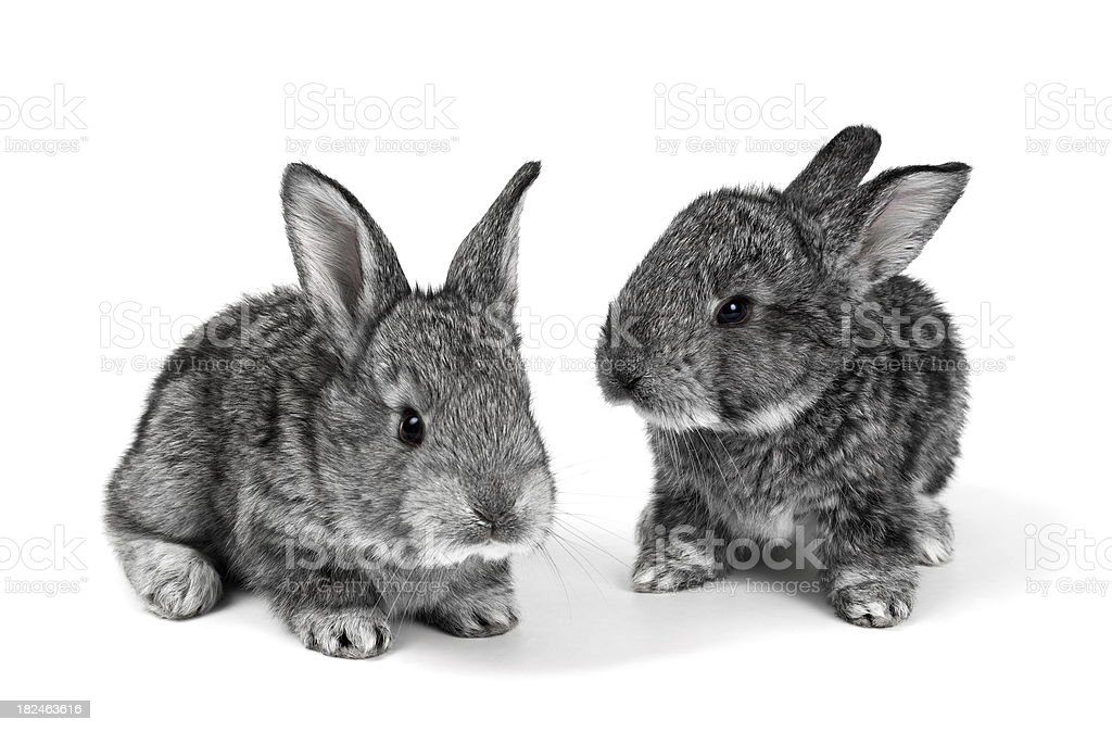Little Rabbits stock photo