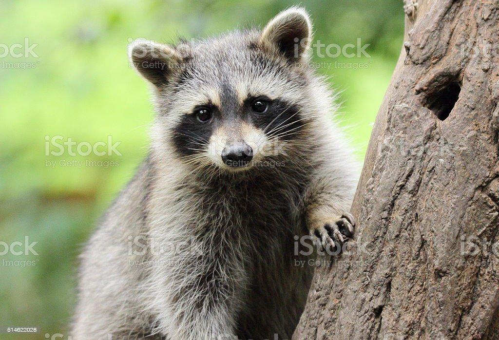 Little Raccoon on tree stock photo