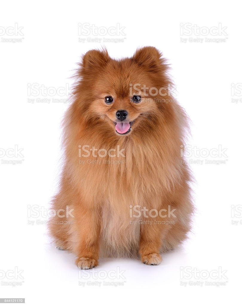 little red dog lying on a white background stock photo