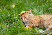 Little red kitten lying on grass in autumn