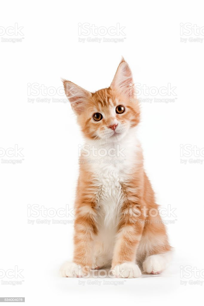 Little red kitten sitting on white background. royalty-free stock photo