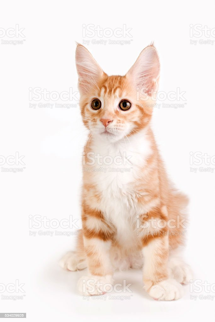 Little red kitten sitting on white background. Studio photography. stock photo