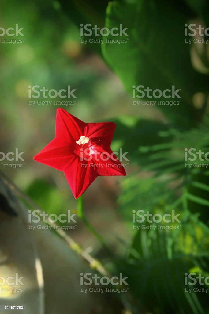 Little red morning glories against a green background stock photo