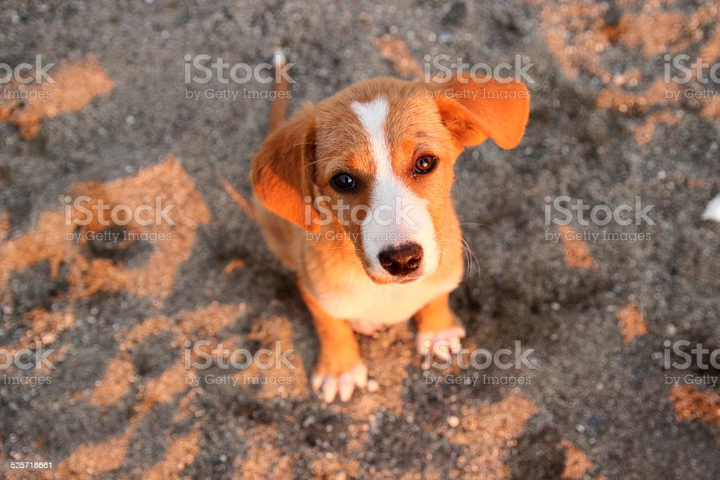 Little red puppy sadly looking at the camera royalty-free stock photo