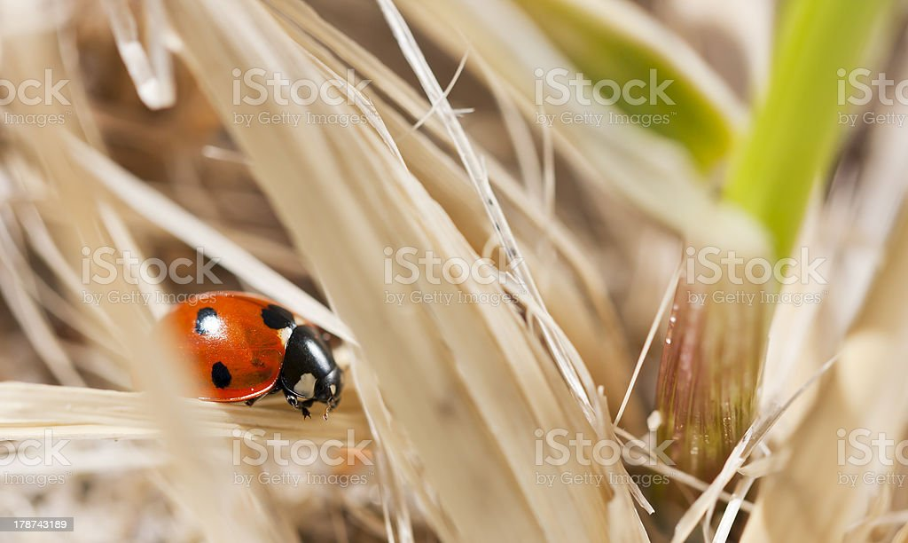 Little red seven spot ladybird royalty-free stock photo
