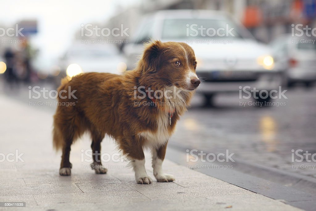 little redhead cute dog on the street stock photo