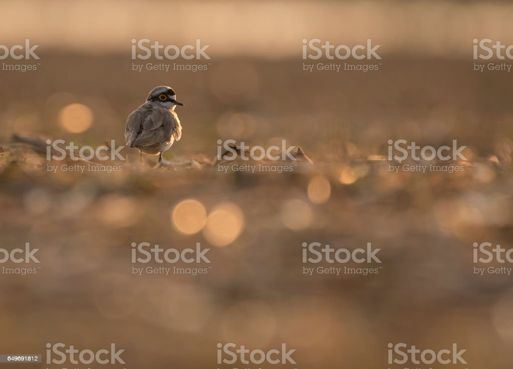 Little Ringed Plover at sunset stock photo