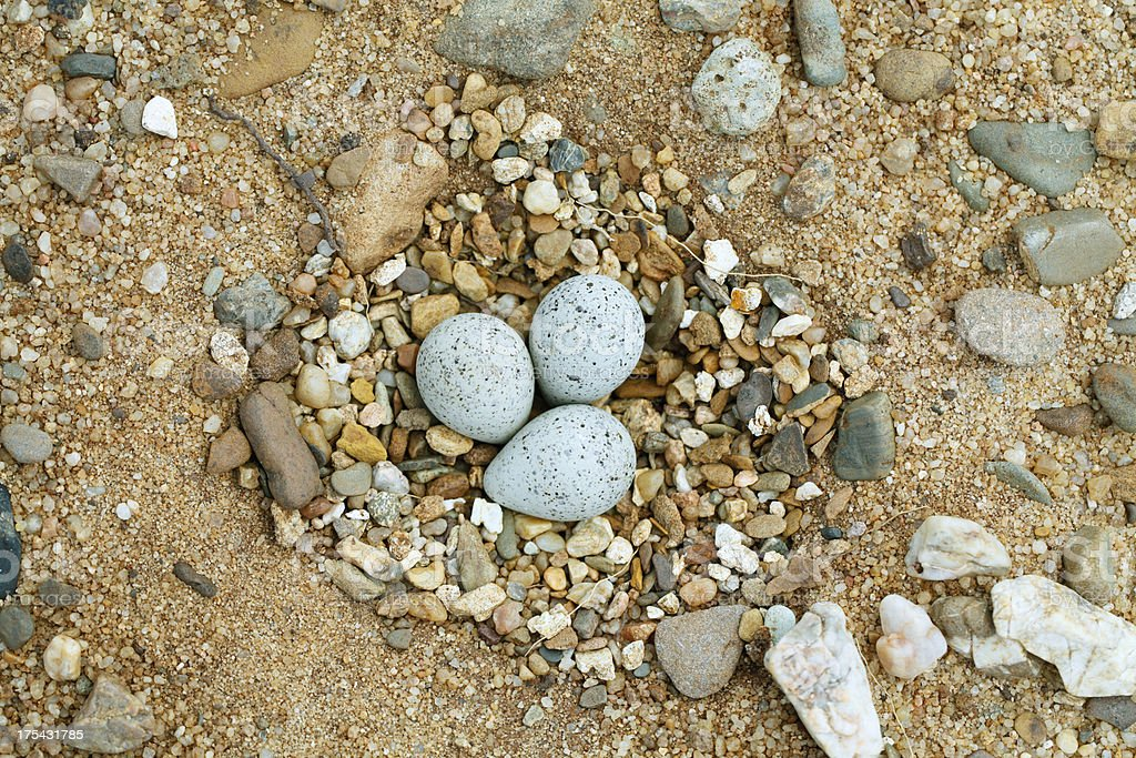 Little Ringed Plover (Charadrius dubius) Nest stock photo