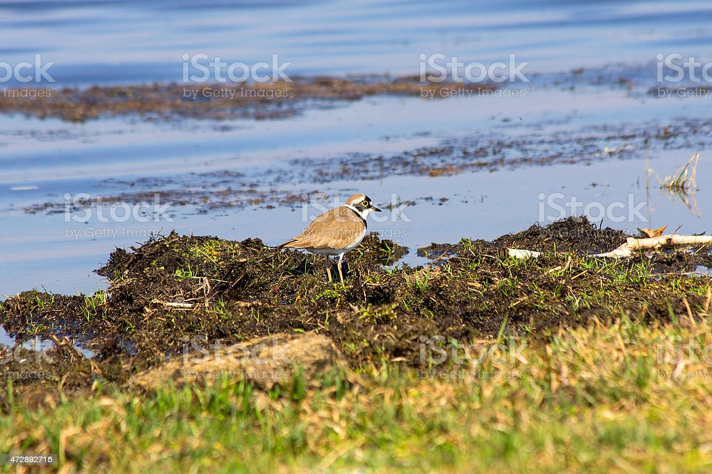 Little ringed Plover (Charadrius dubius) stock photo