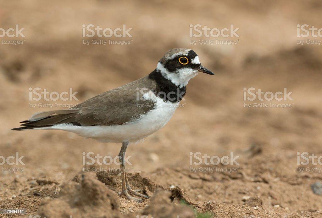 Little Ringed Plover (Charadrius dubius) stock photo