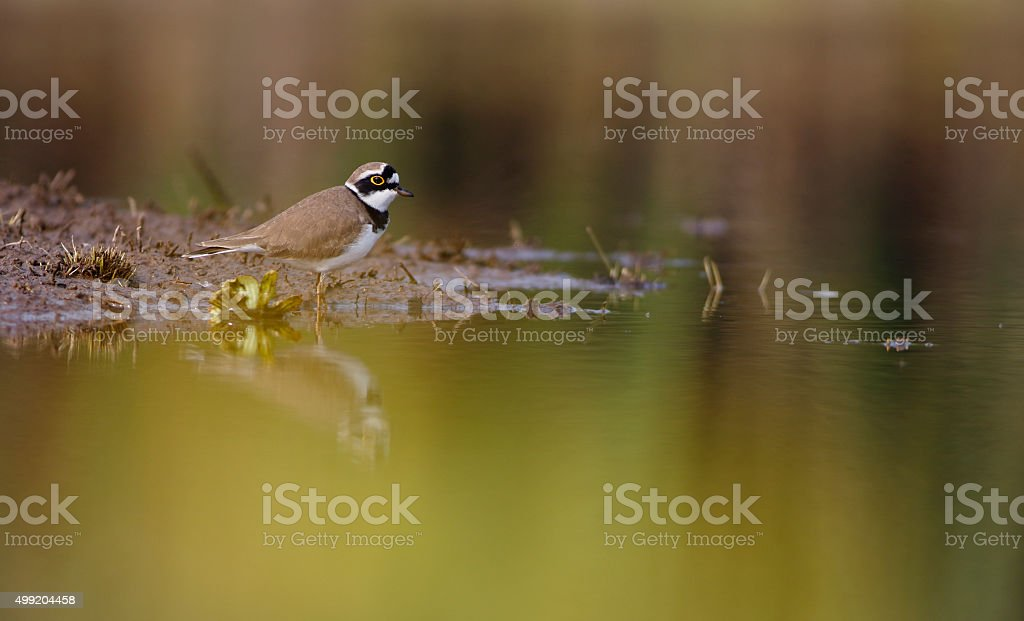 Little ringed plover stock photo