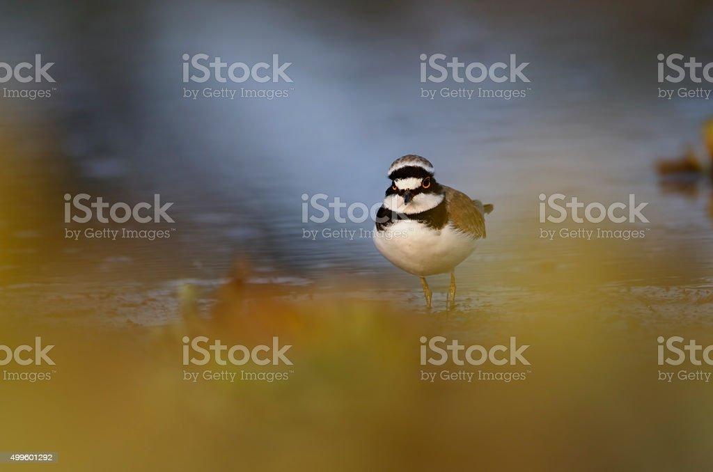 Little ringed plover stock photo