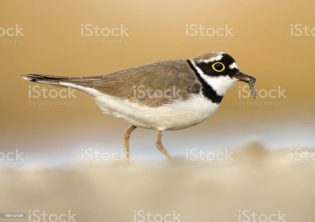 Little ringed plover with catch on blurred yellow background stock photo