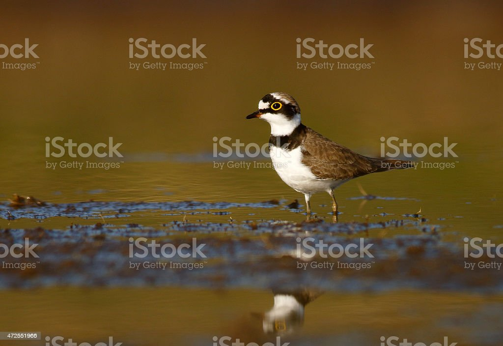 Little ringed plover with reflection stock photo