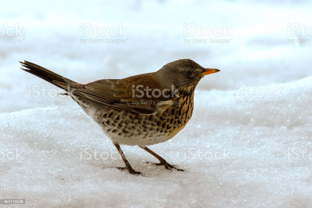 little robin in the snow looking for food stock photo
