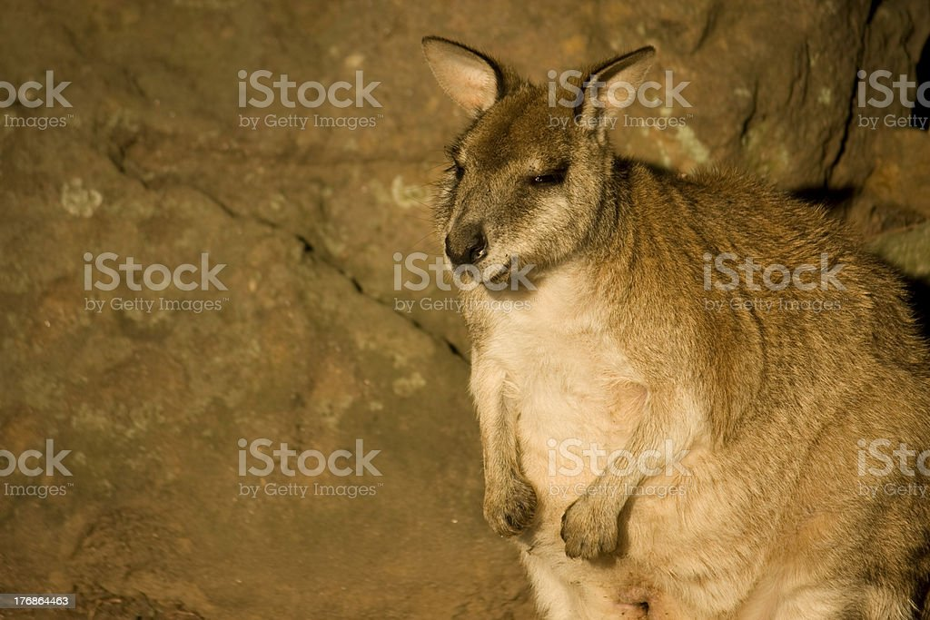 Little Round Wallaby stock photo
