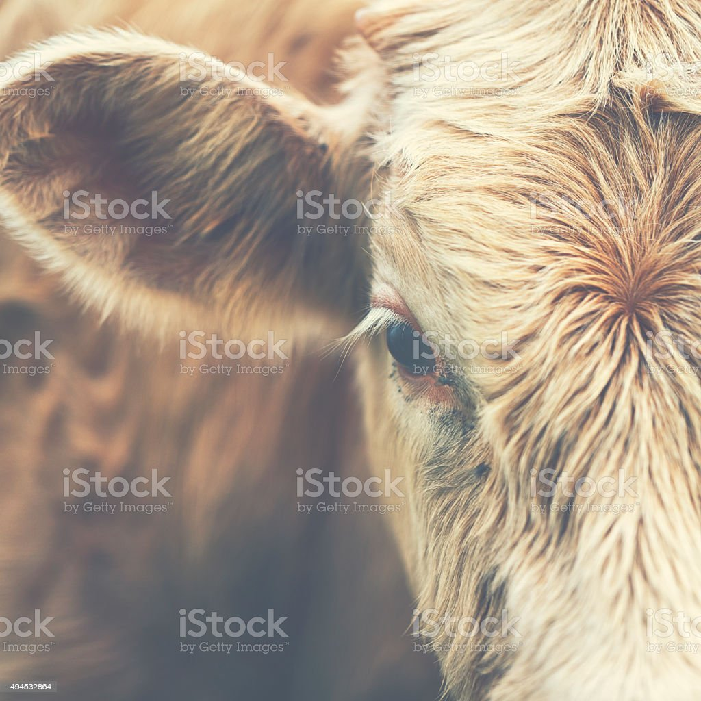 Little sad calf is looking at you stock photo