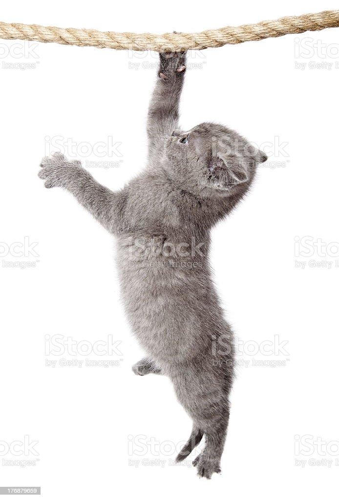 Little scottish fold kitten is hanging on the rope stock photo