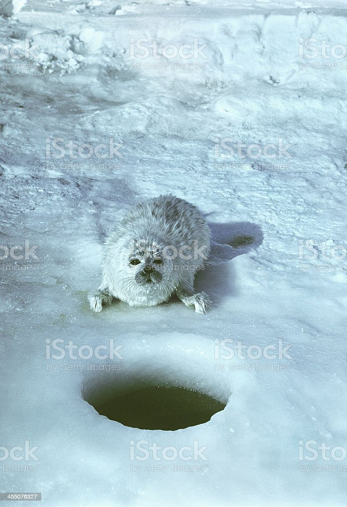 Little seal in the North Caspian Sea. royalty-free stock photo
