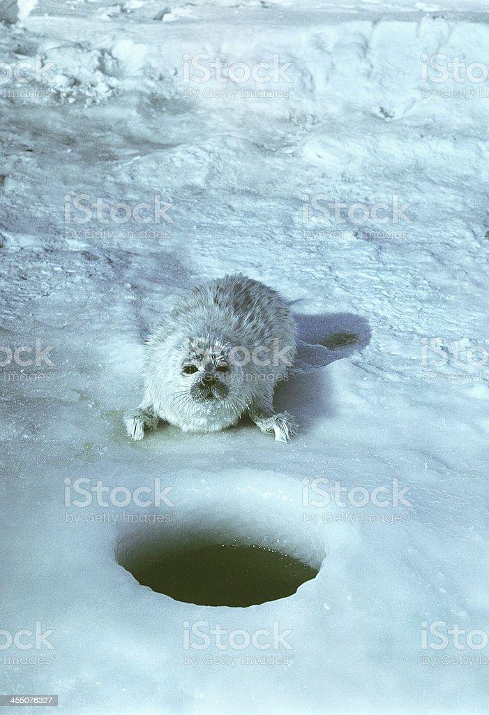 Little seal in the North Caspian Sea. stock photo
