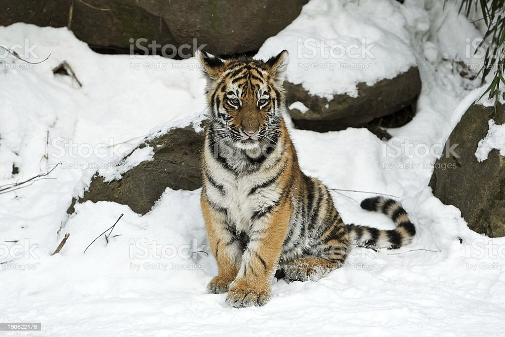 Little Siberian Tiger In Winter (Panthera tigris altaica) stock photo