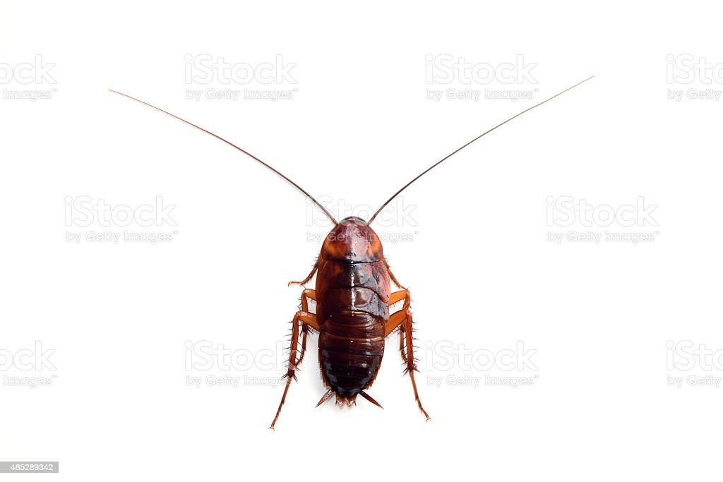 Little single upset cockroach isolate on white background stock photo