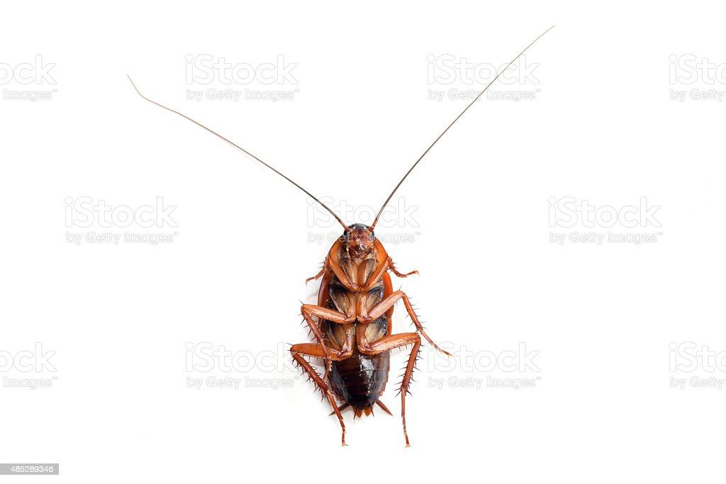 Little single upturned cockroach isolate on white background stock photo