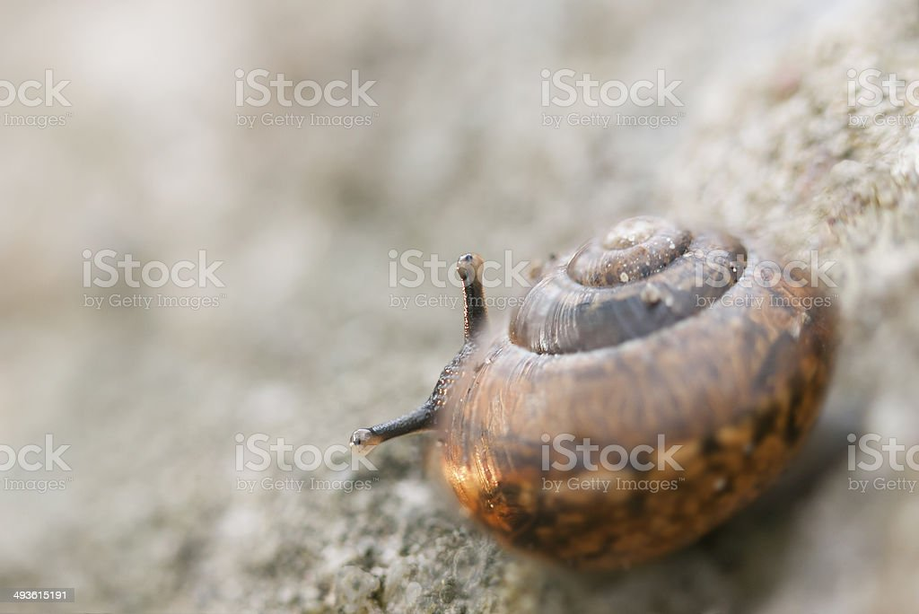 Little snail look behind its shell royalty-free stock photo