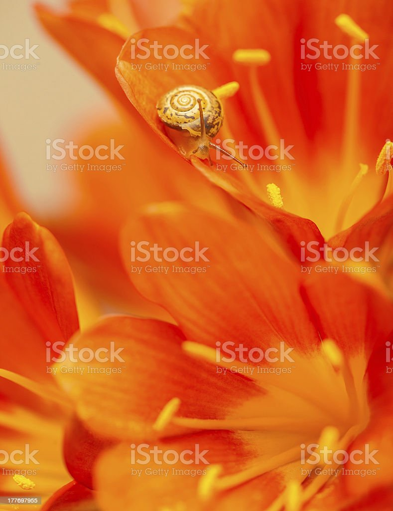 Little snail on red crocus flower royalty-free stock photo