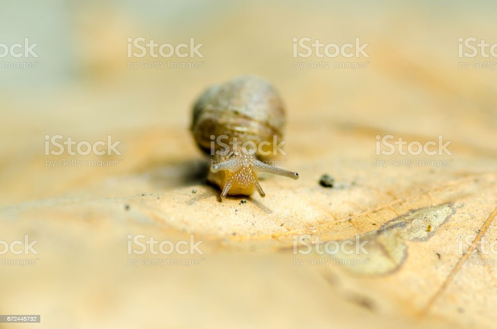 Little snail on the dead dry leaf. Close up. stock photo
