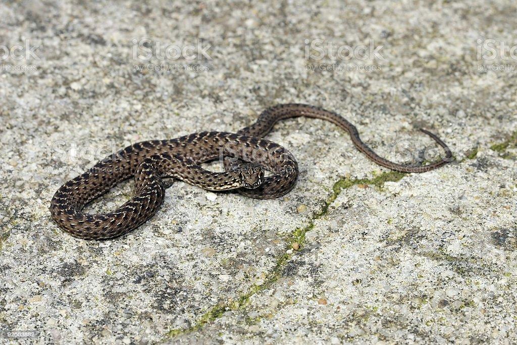 Little snake 01 royalty-free stock photo