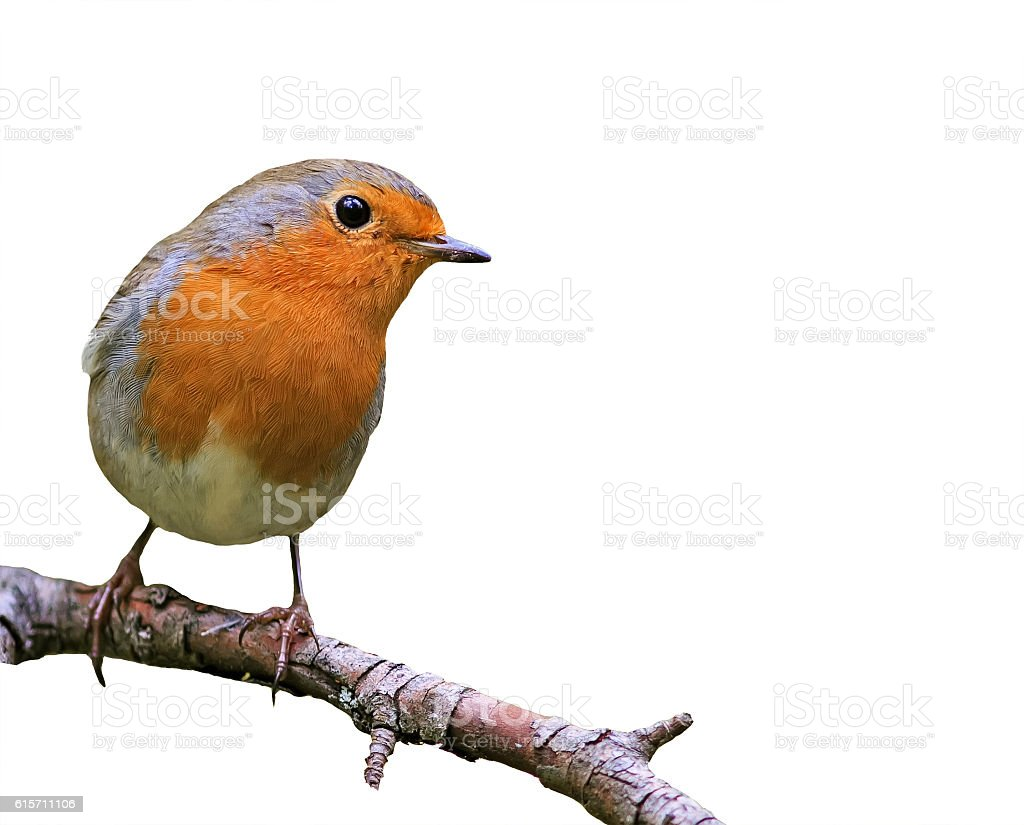 little songbird red Robin on white isolated background stock photo