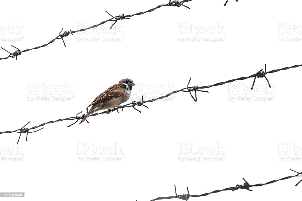 Little sparrow bird on barbed wire, selective focus, isolated stock photo