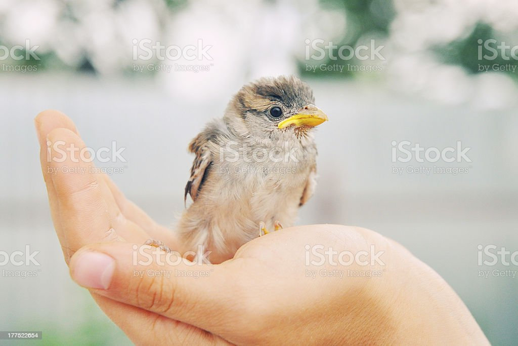 Little sparrow royalty-free stock photo