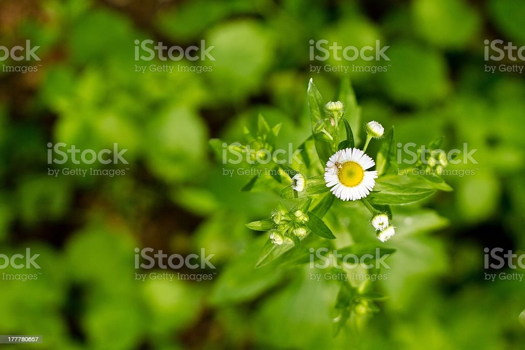 Little spider standing on white flower royalty-free stock photo