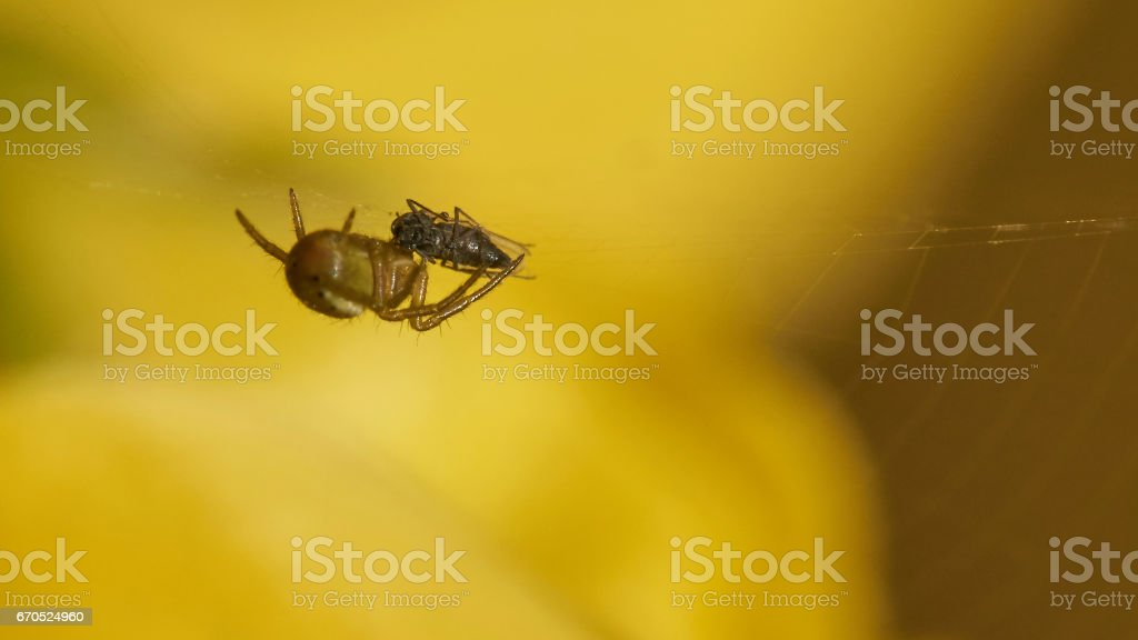 little spider that catched a fly stock photo