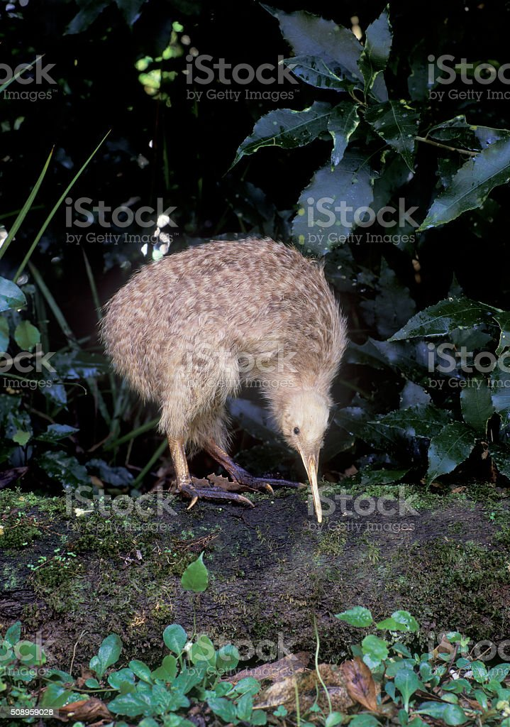 Little spotted kiwi stock photo