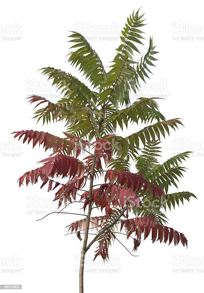 little staghorn sumac tree stock photo