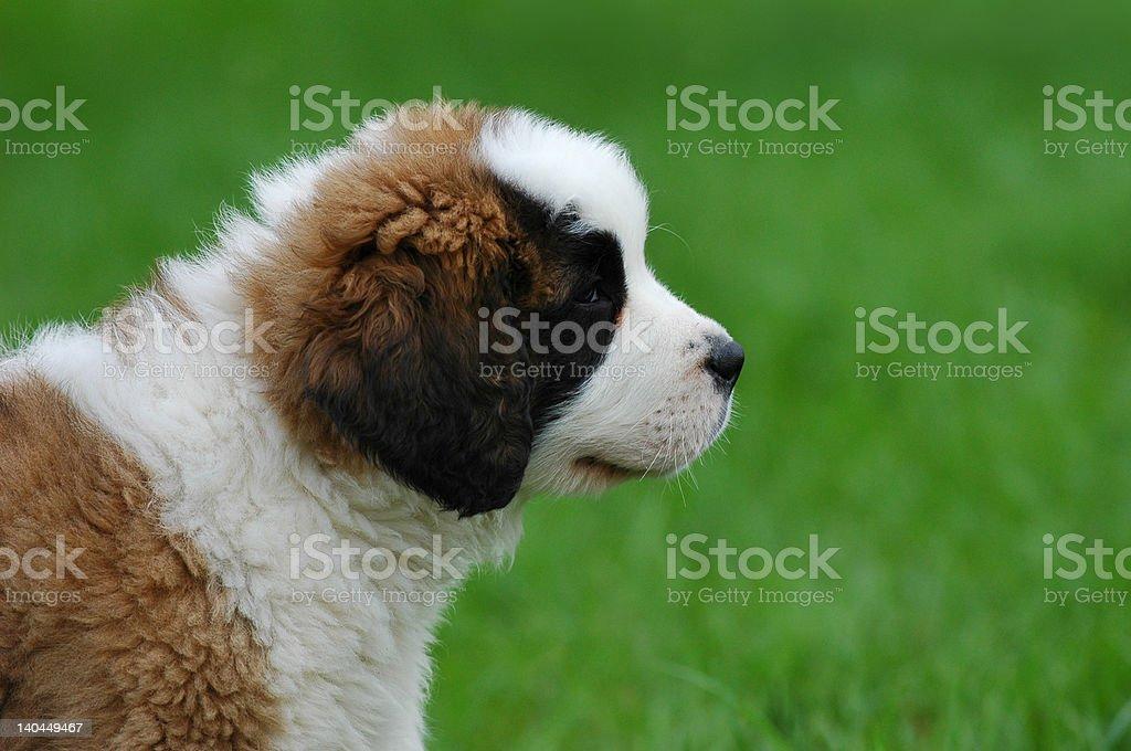 Little St.Bernard's dog royalty-free stock photo