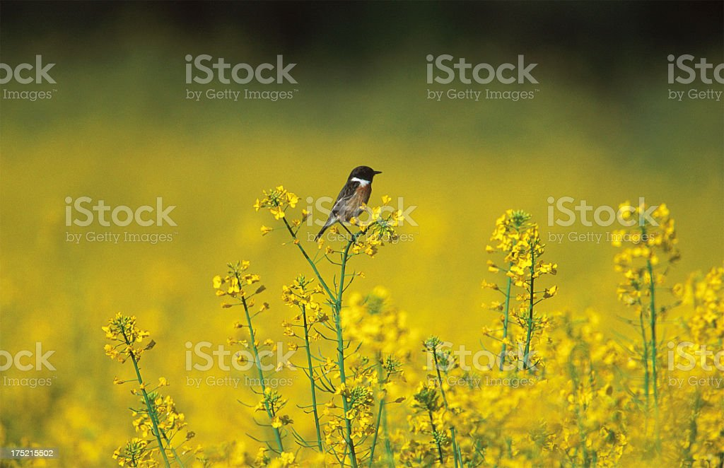 Little stonechat bird resting on yellow flowers, side view stock photo