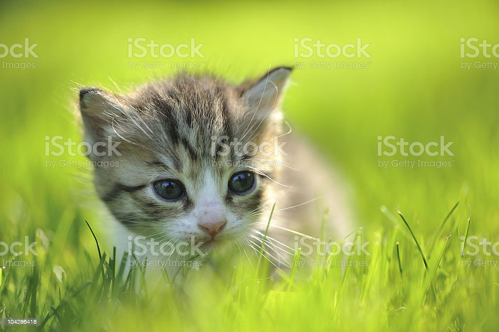 Little striped kitten hiding in the grass close-up stock photo