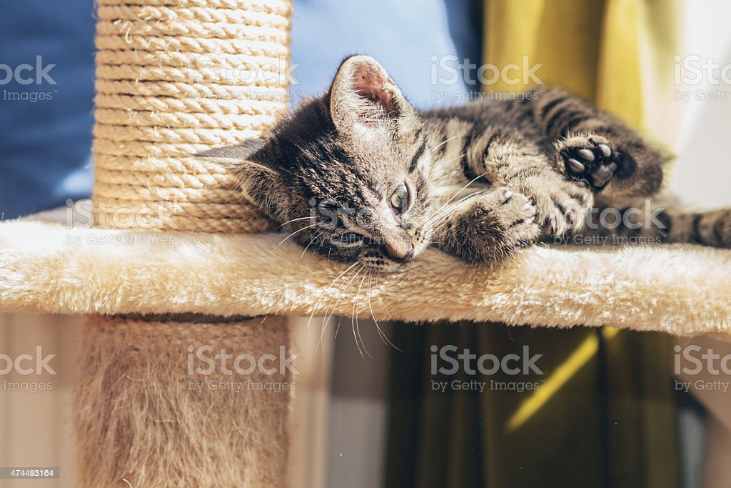 Little striped tabby kitten lying relaxing stock photo