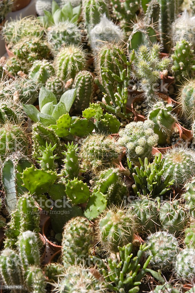 Little Succulents at Market royalty-free stock photo
