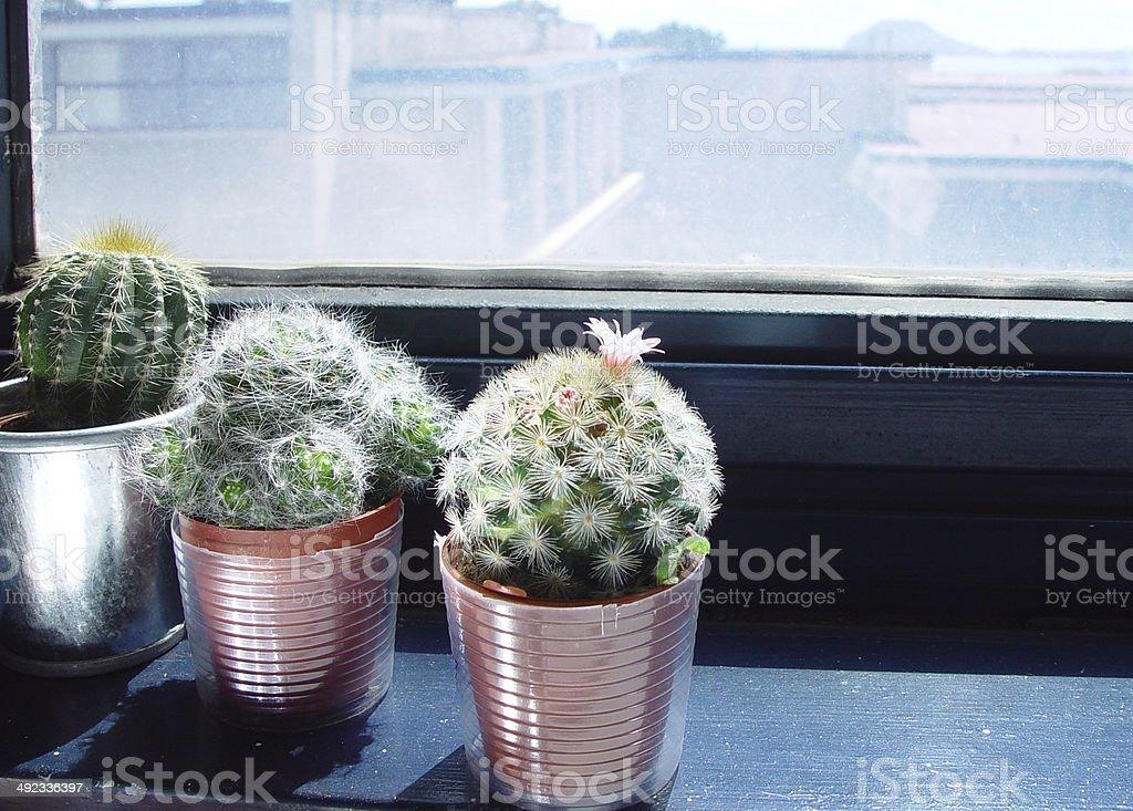 Little Succulents Under a Wondow royalty-free stock photo