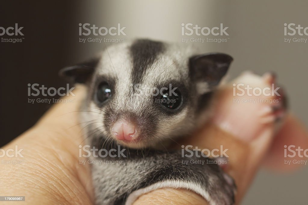 little sugar glider on woman hand royalty-free stock photo